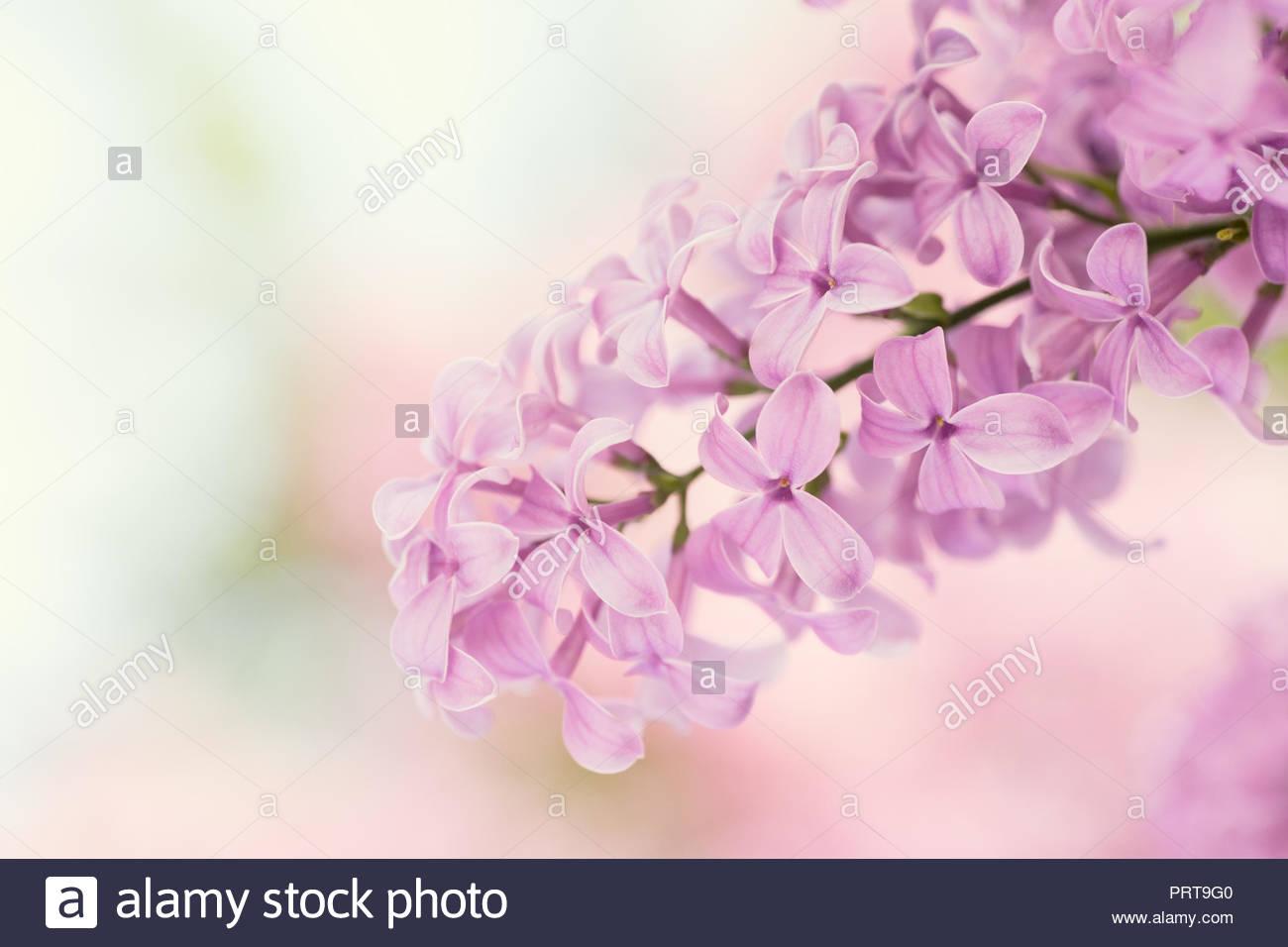 Ajuste Exterior De Fragantes Flores De Color Lila Y Fondo De Color - Color-lila-pastel