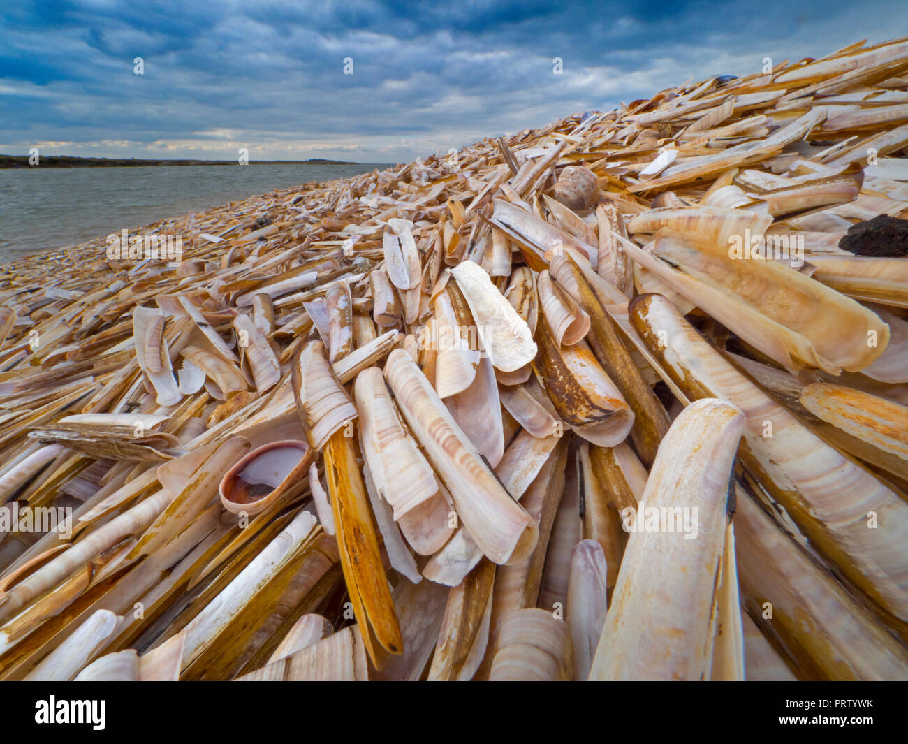 Navaja Ensis siliqua sobre Titchwell Shell Beach Norfolk Foto de stock