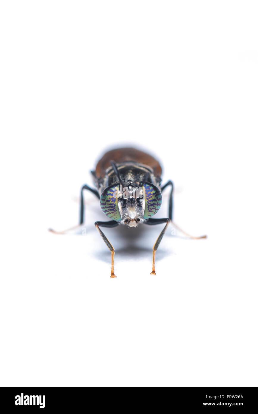 El soldado negro mosca, es una mosca común y extendida de la familia Stratiomyidae. Las larvas y los adultos son considerados plagas ni vectores. Imagen De Stock