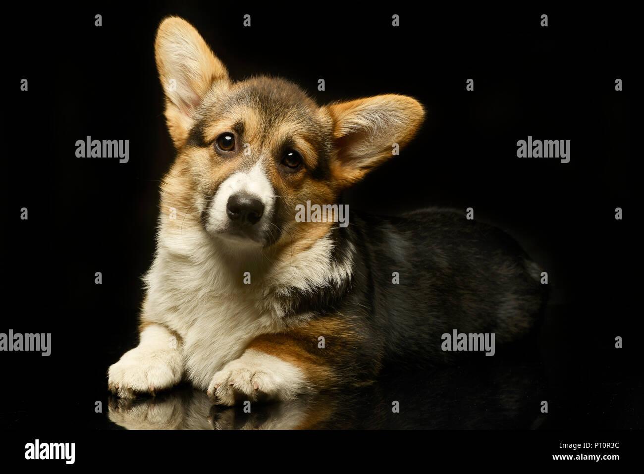 Puppy corgie mirando en una foto oscura studio Foto de stock