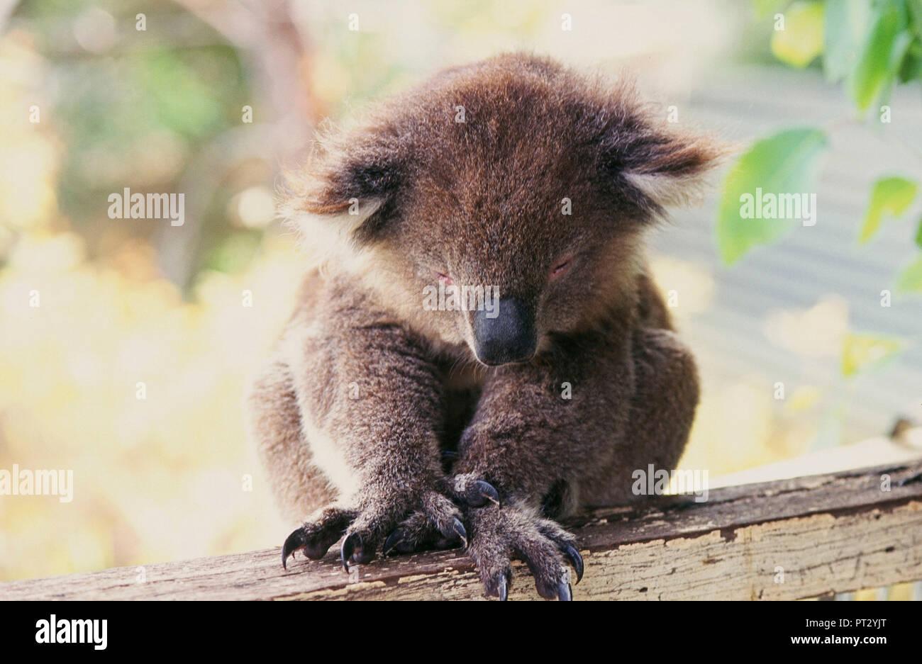 El Koala, Oso, animales, Australia Foto de stock
