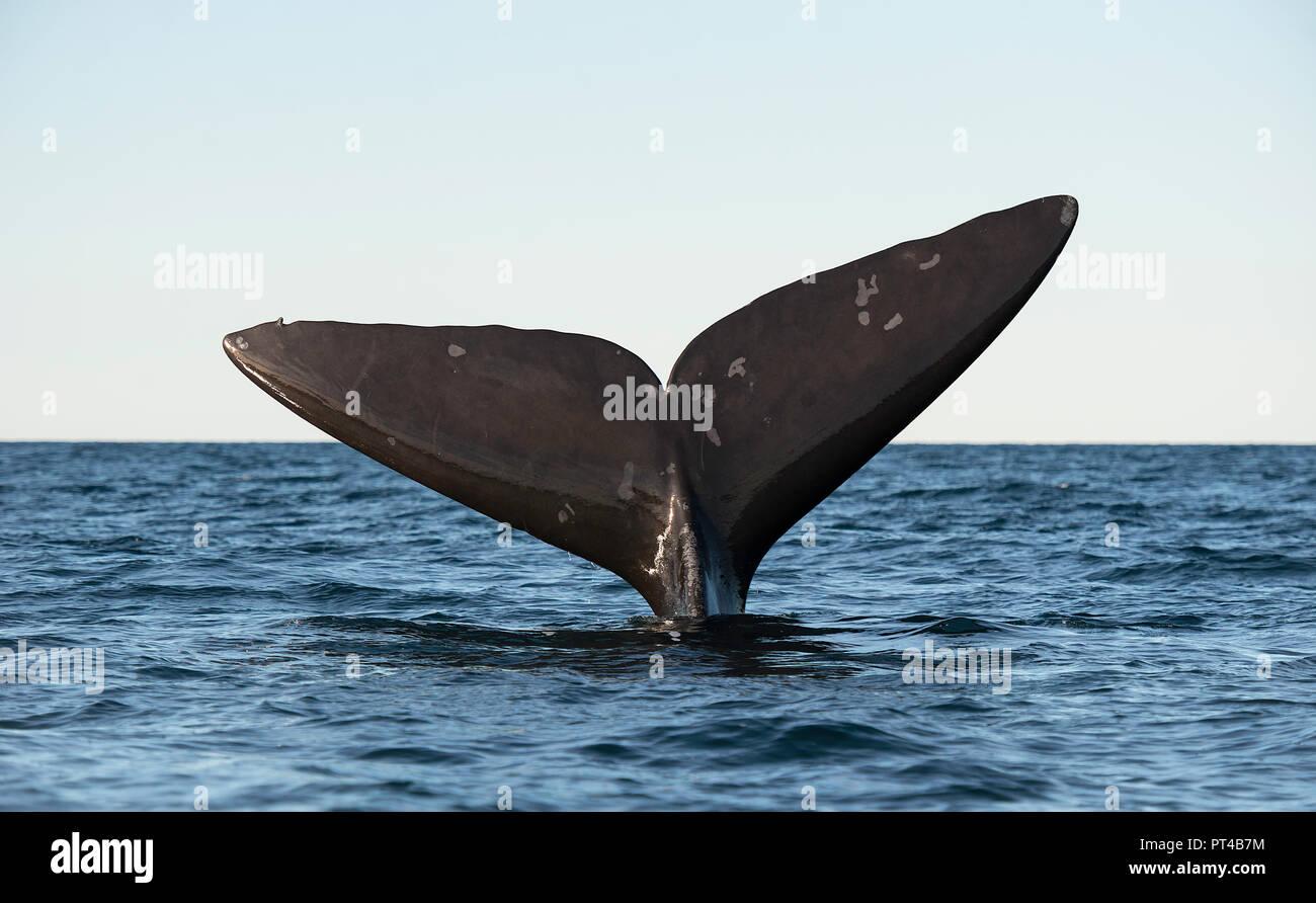 Cola de ballena franca austral Fluke. Imagen De Stock
