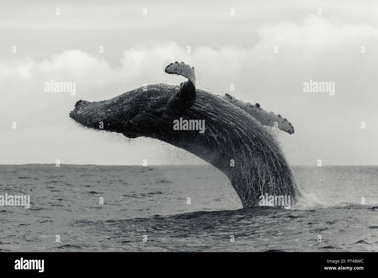 Ballena humpback, Langebaan, Sudáfrica. Foto de stock