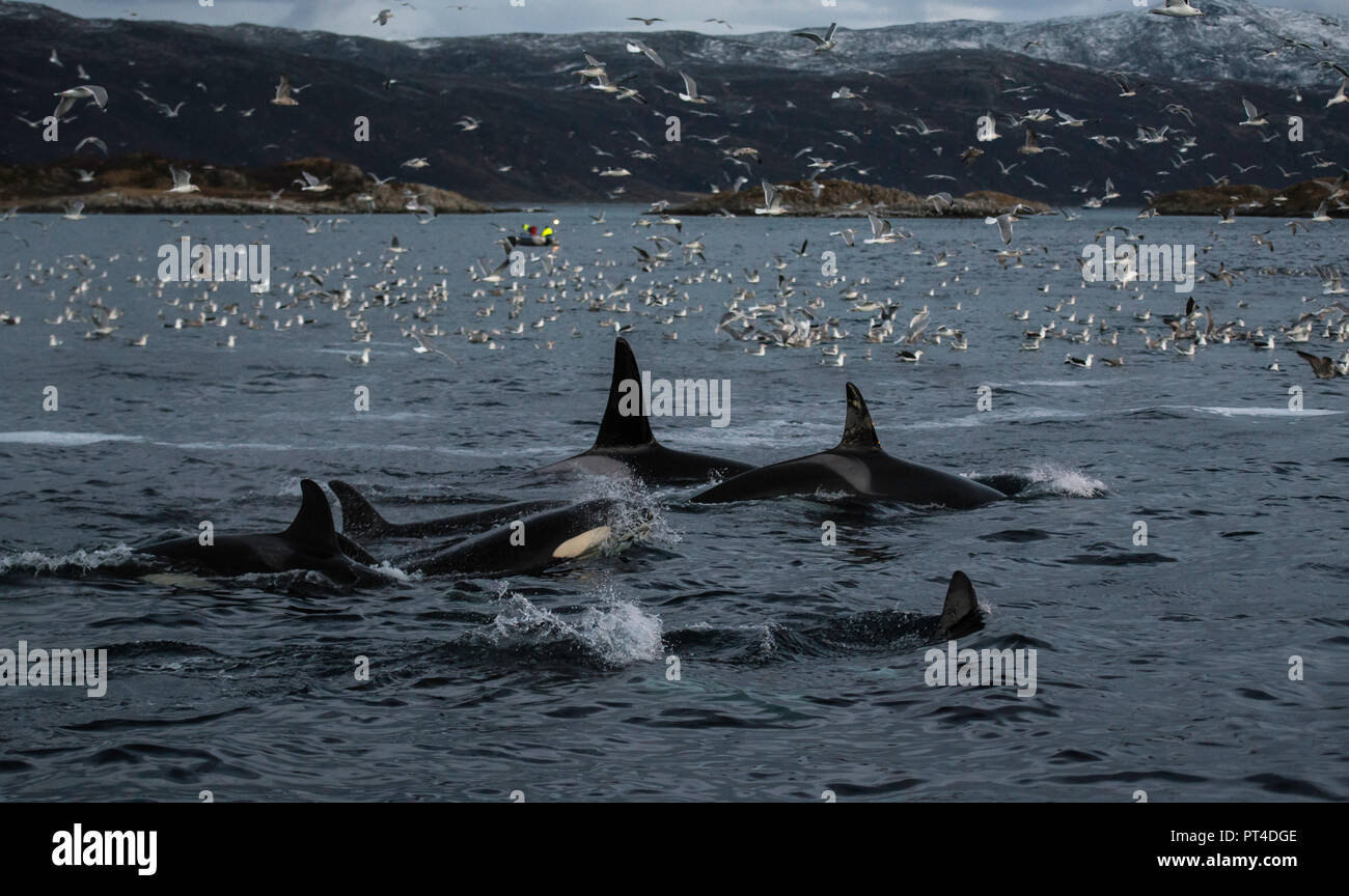 Orcas alimentándose de arenque capturado en las redes de los arrastreros de pesca, en el norte de Noruega. Foto de stock