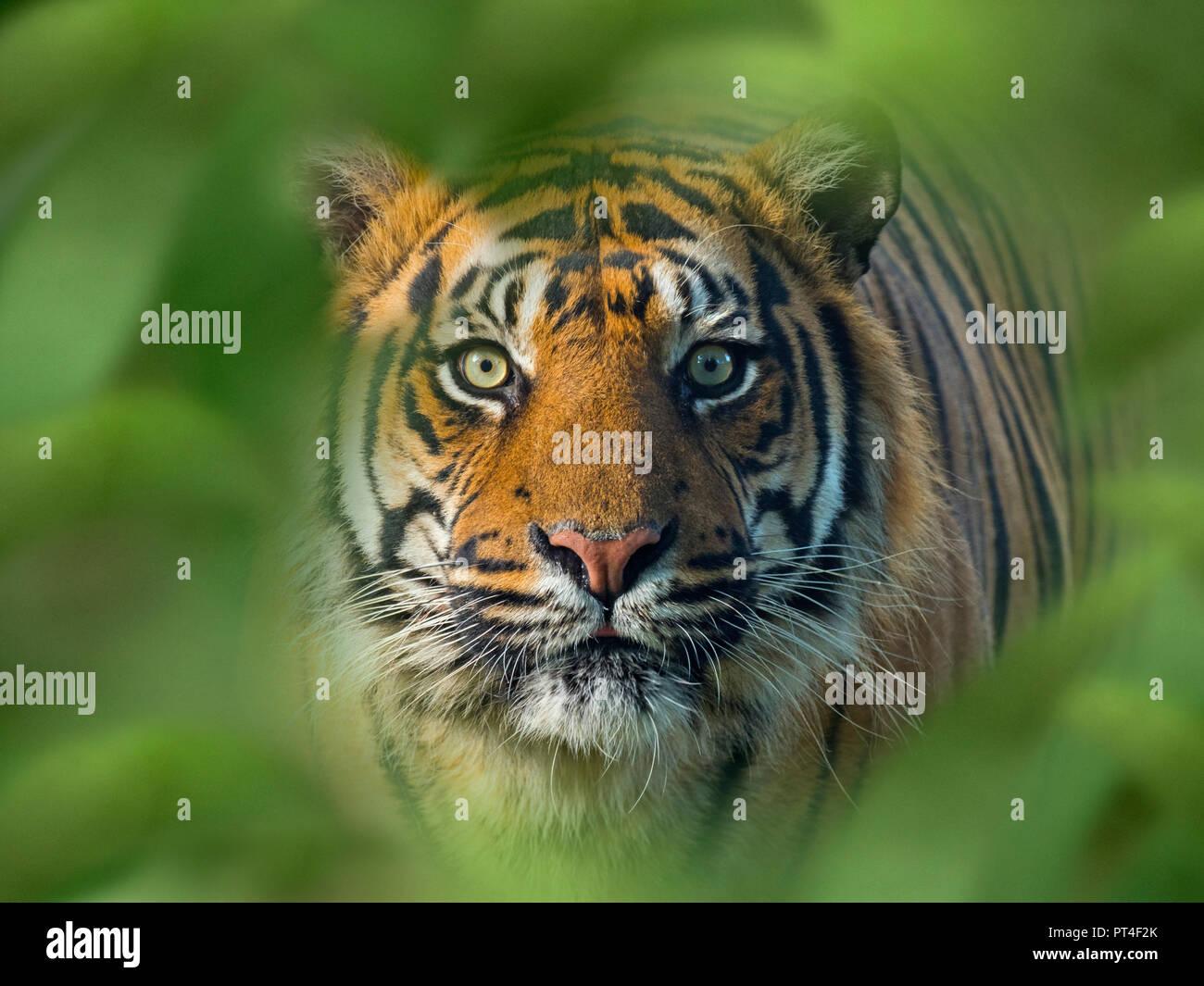 Tigre de Sumatra Panthera tigris sondaica cautivo Foto de stock