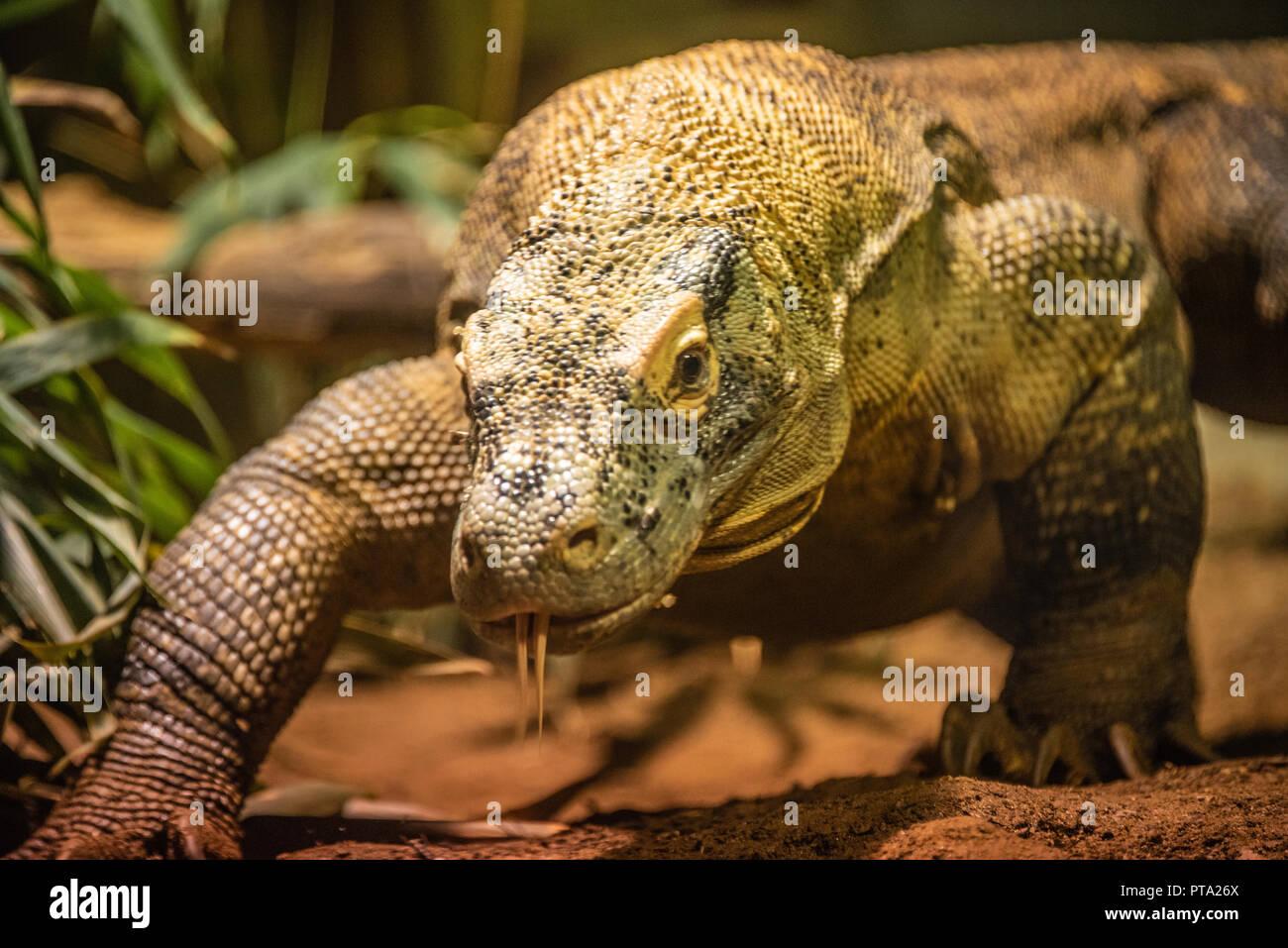 Acercando el dragón de Komodo (también conocido como un monitor de Komodo) en el zoológico de Atlanta, cerca del centro de Atlanta, Georgia. (Ee.Uu.) Imagen De Stock