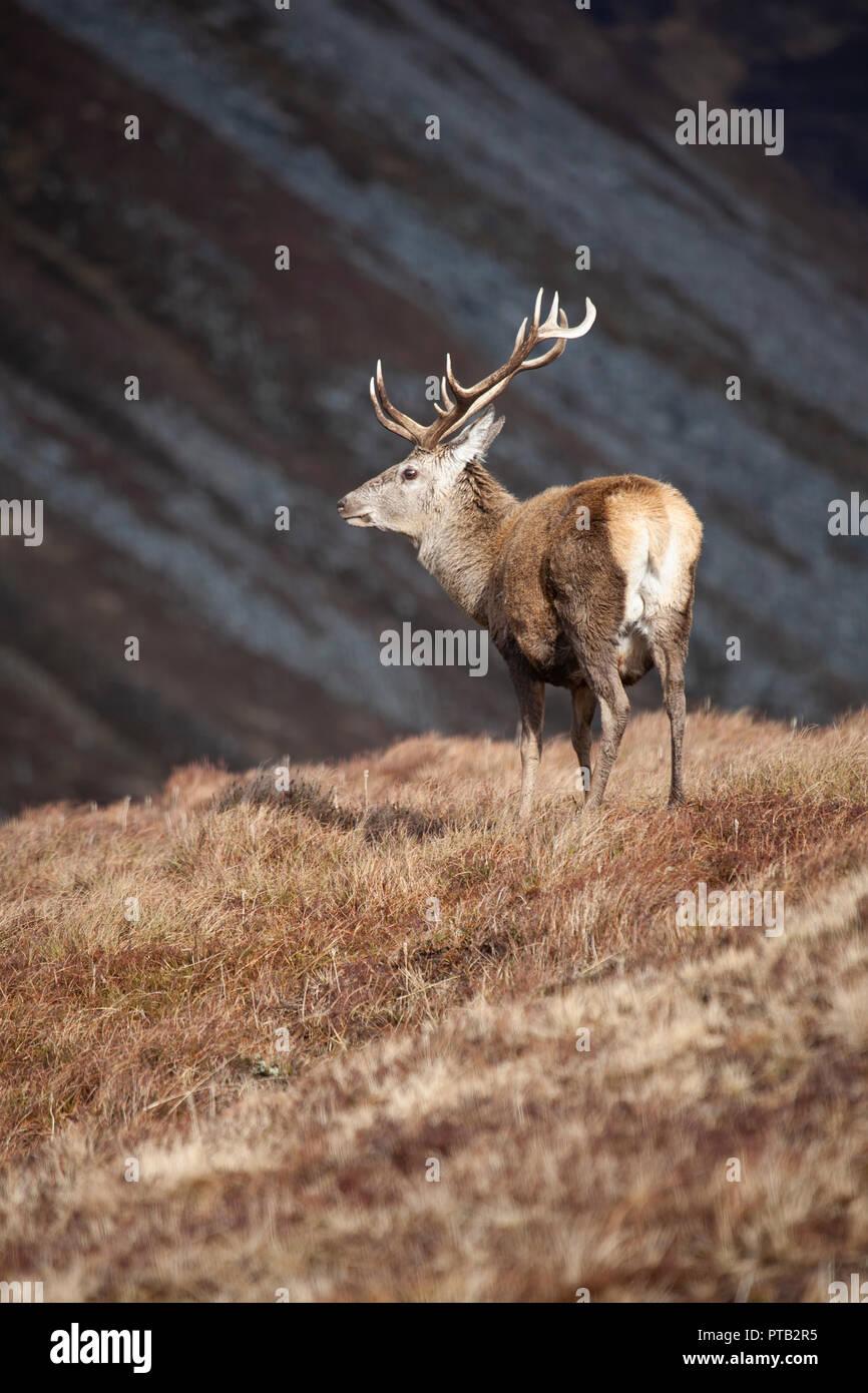El ciervo rojo Cervus elaphus ciervo con grandes cuernos en las Highlands escocesas en un sombrío y húmedo día de invierno Foto de stock
