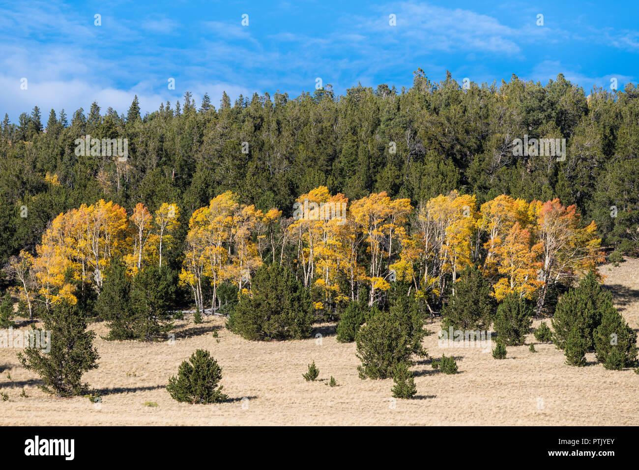 En Aspen Grove en colores de otoño de oro, amarillo y naranja, contrastando con el verde oscuro de un bosque de pinos Foto de stock