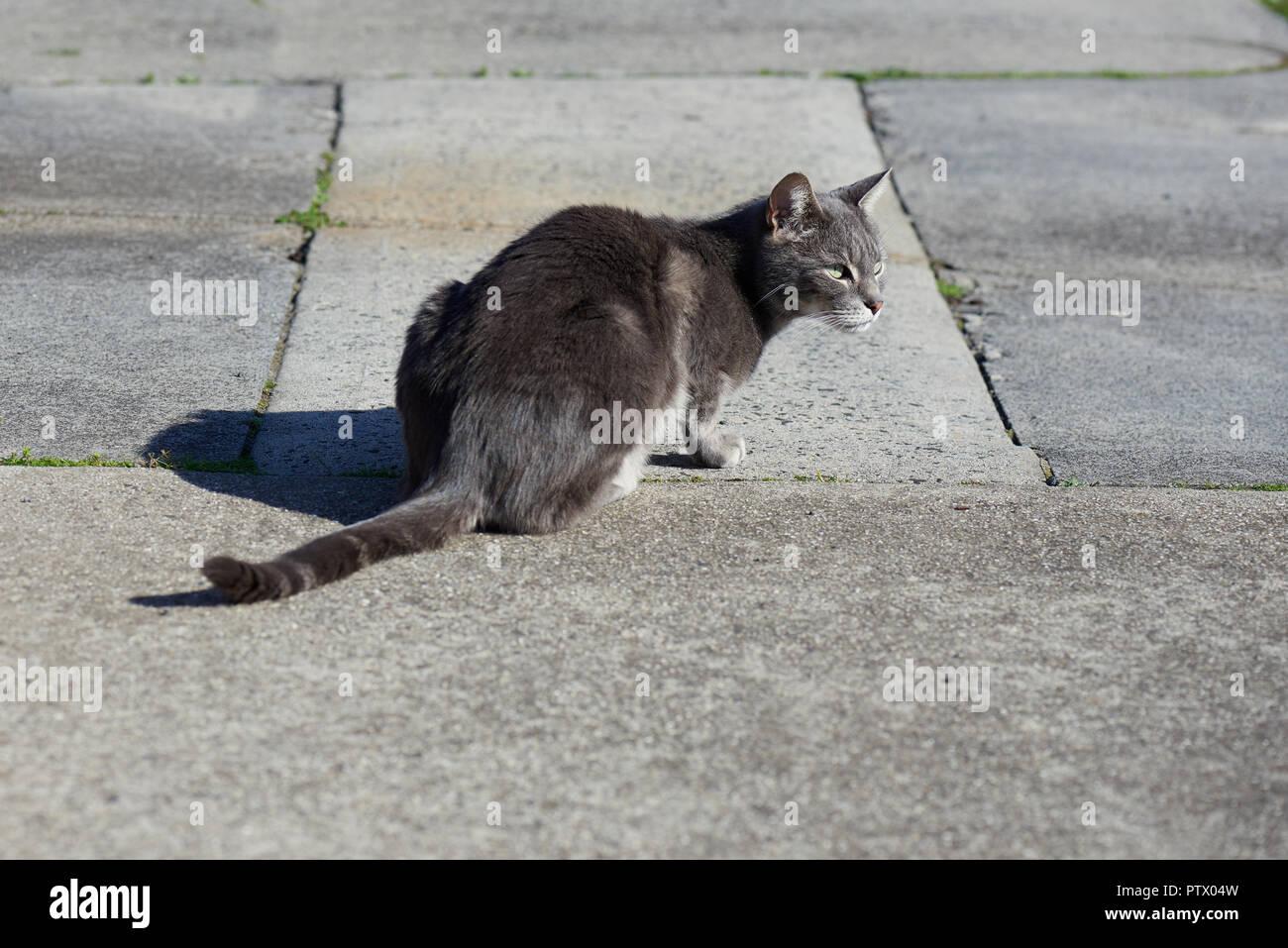 La calle Grey cat en un sendero de hormigón en el sol. Imagen De Stock