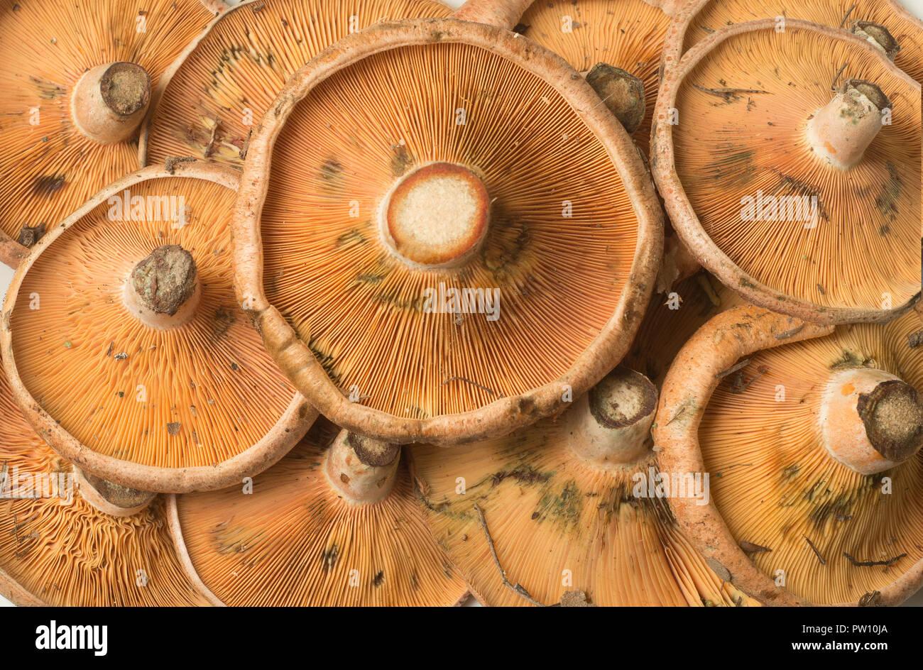 Lactarius deliciosus Rovellones Closeup Imagen De Stock