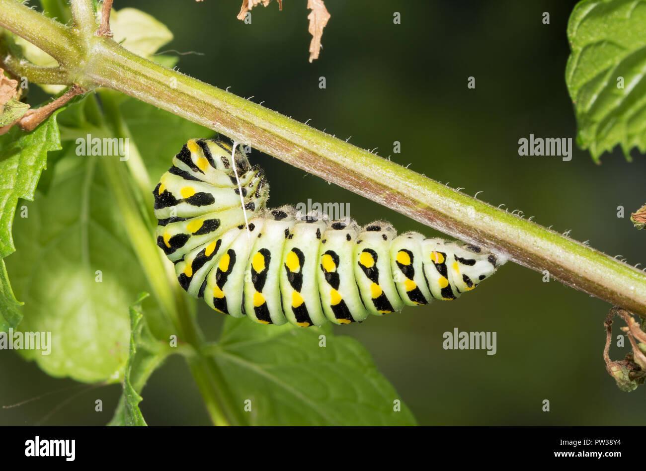Último estadio de especie butterfly caterpillar alistándose a pupa, colgando de un tallo de menta Foto de stock