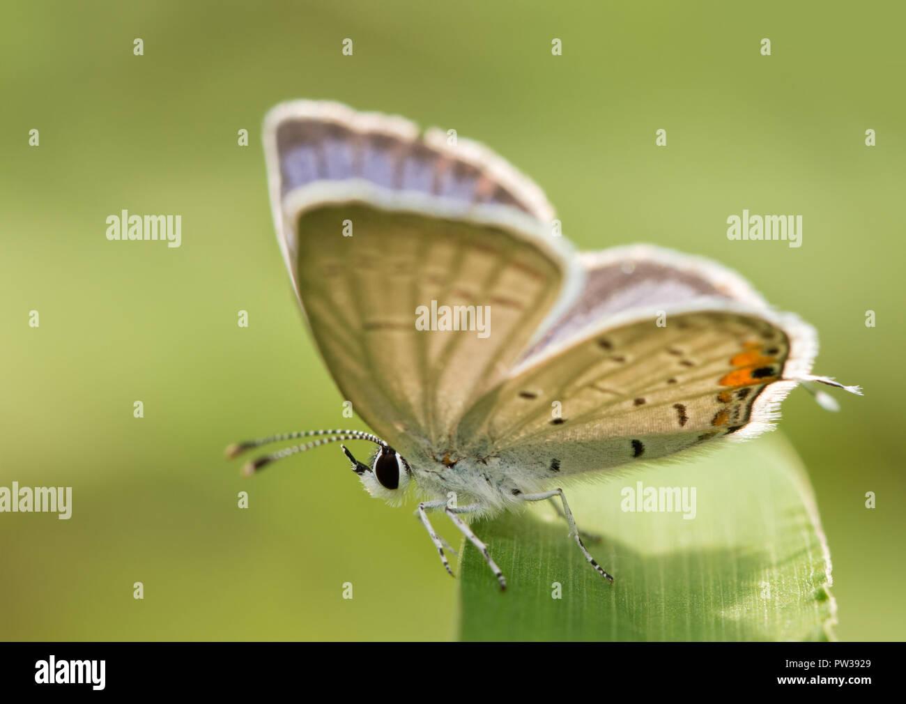 Diminuto macho-tailed oriental mariposa azul descansando sobre una brizna de hierba con sus alas a medio camino abierto Foto de stock