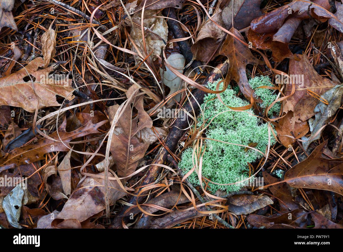 Liquen Cladonia rangiferina reno) entre la hojarasca y hojas