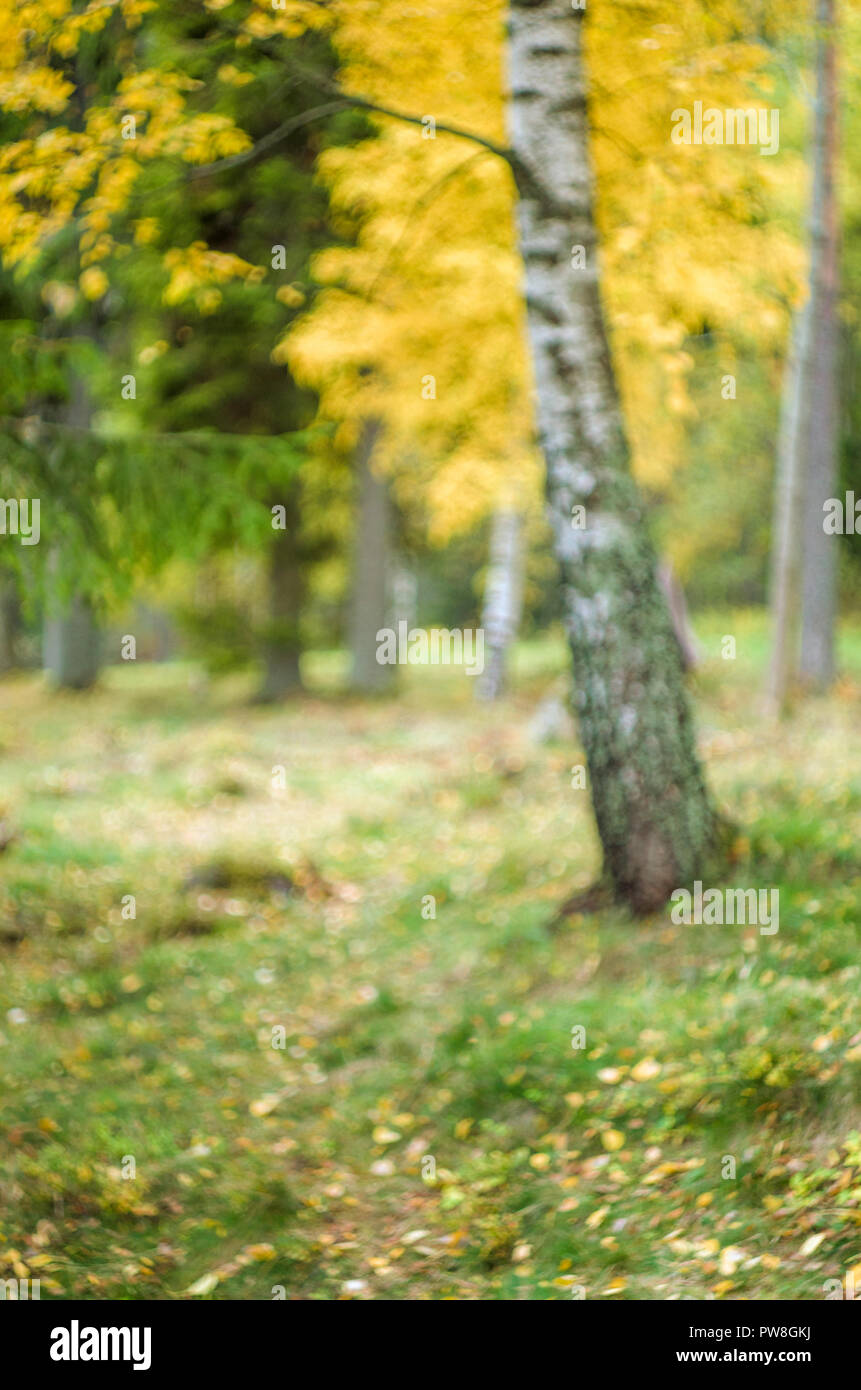 Fondo borroso- otoño paisaje noruego (bosque boreal con árboles de color amarillo). Foto de stock
