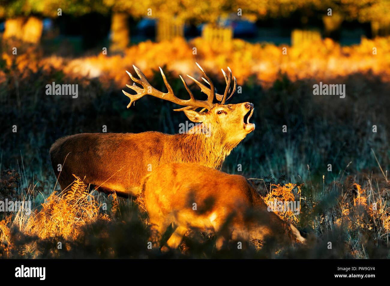 Ciervo rojo durante el otoño de rutina en los parques de Londres Foto de stock