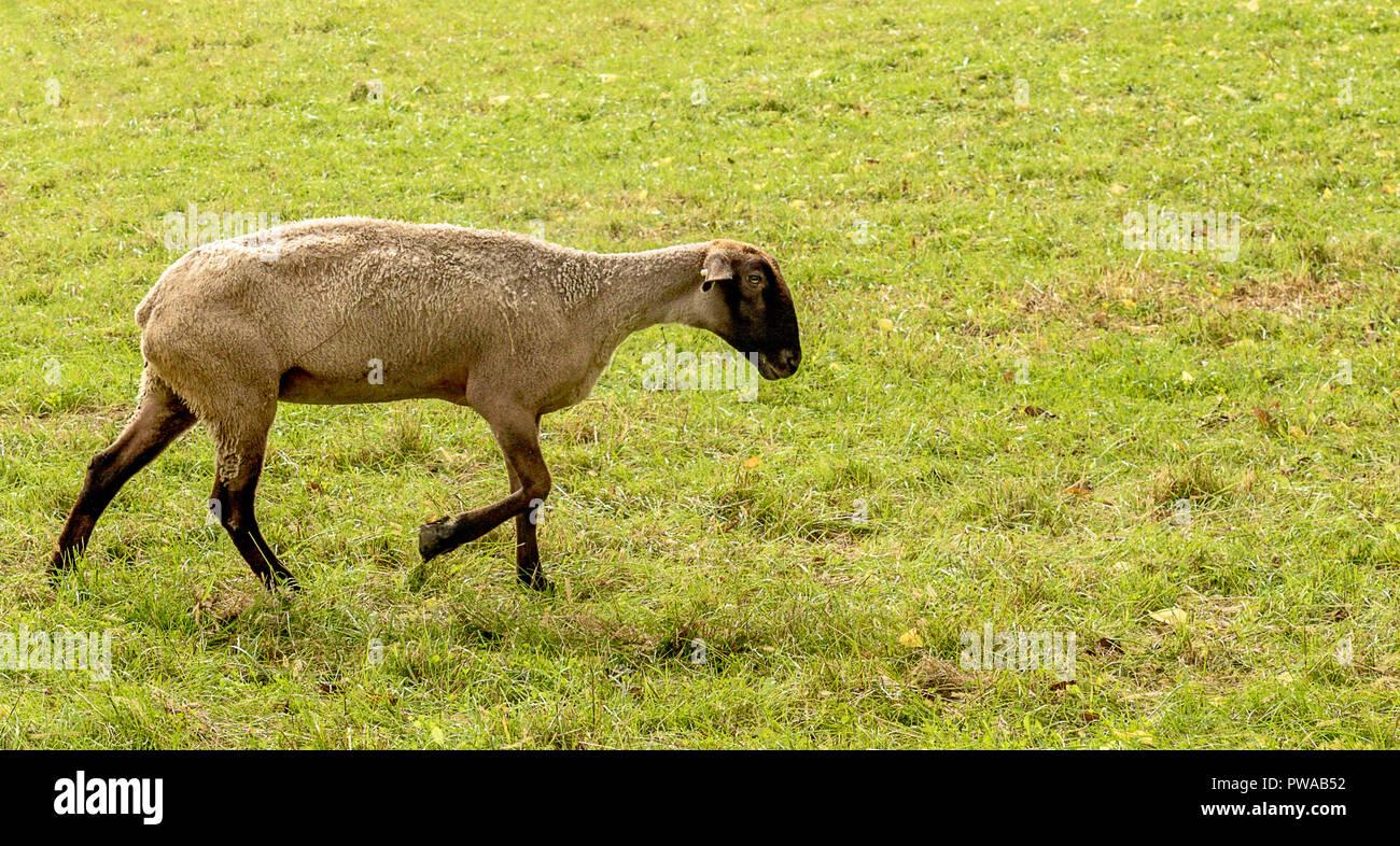 Suffolk ovejas para un paseo. Foto de stock