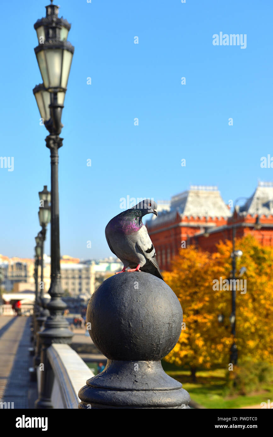 Rock, Rock de PALOMA paloma, o la paloma común (Columba livia) sobre fondo de Alexander Gardens. Moscú, Rusia Imagen De Stock