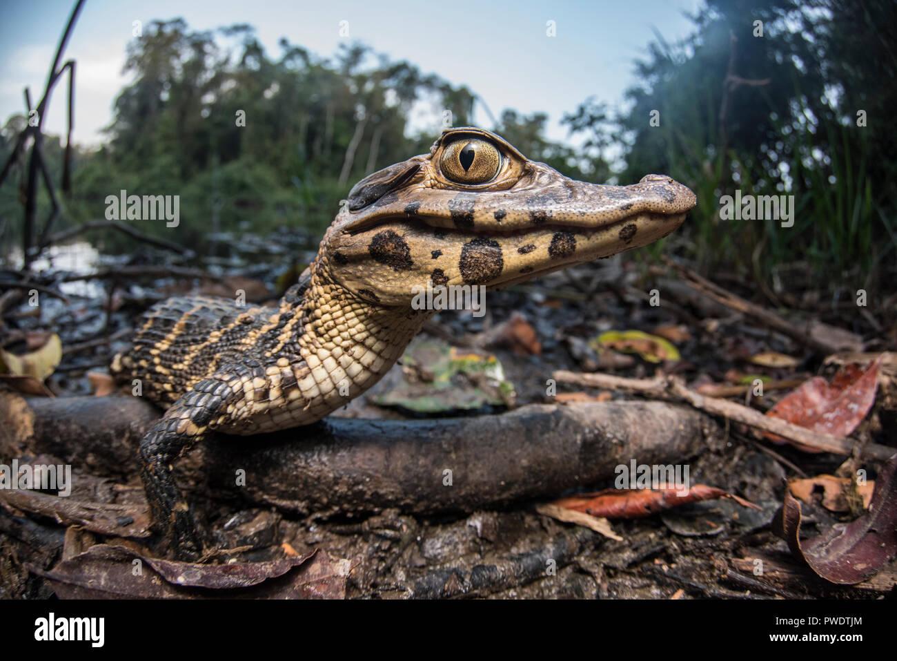 Un joven caimán negro (Melanosuchus niger), cuando éste crece será un ápice depredador de la Amazonía. Éste está tomando el sol junto al lago. Imagen De Stock