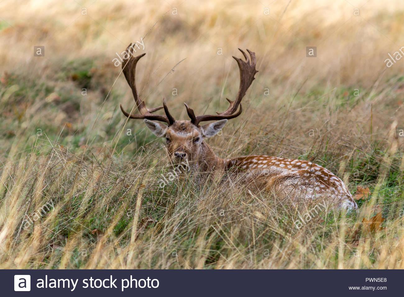 Un gamo buck acostado en el césped largo en otoño Sol. Imagen De Stock