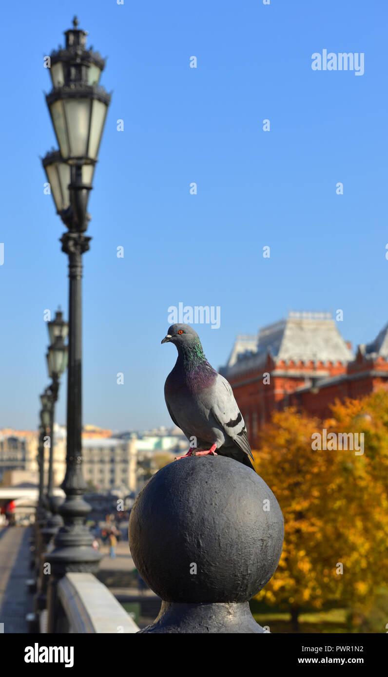 Rock, Rock de PALOMA paloma, o la paloma común (Columba livia) sobre fondo de Alexander Gardens. Moscú, Rusia. Otoño dorado Imagen De Stock