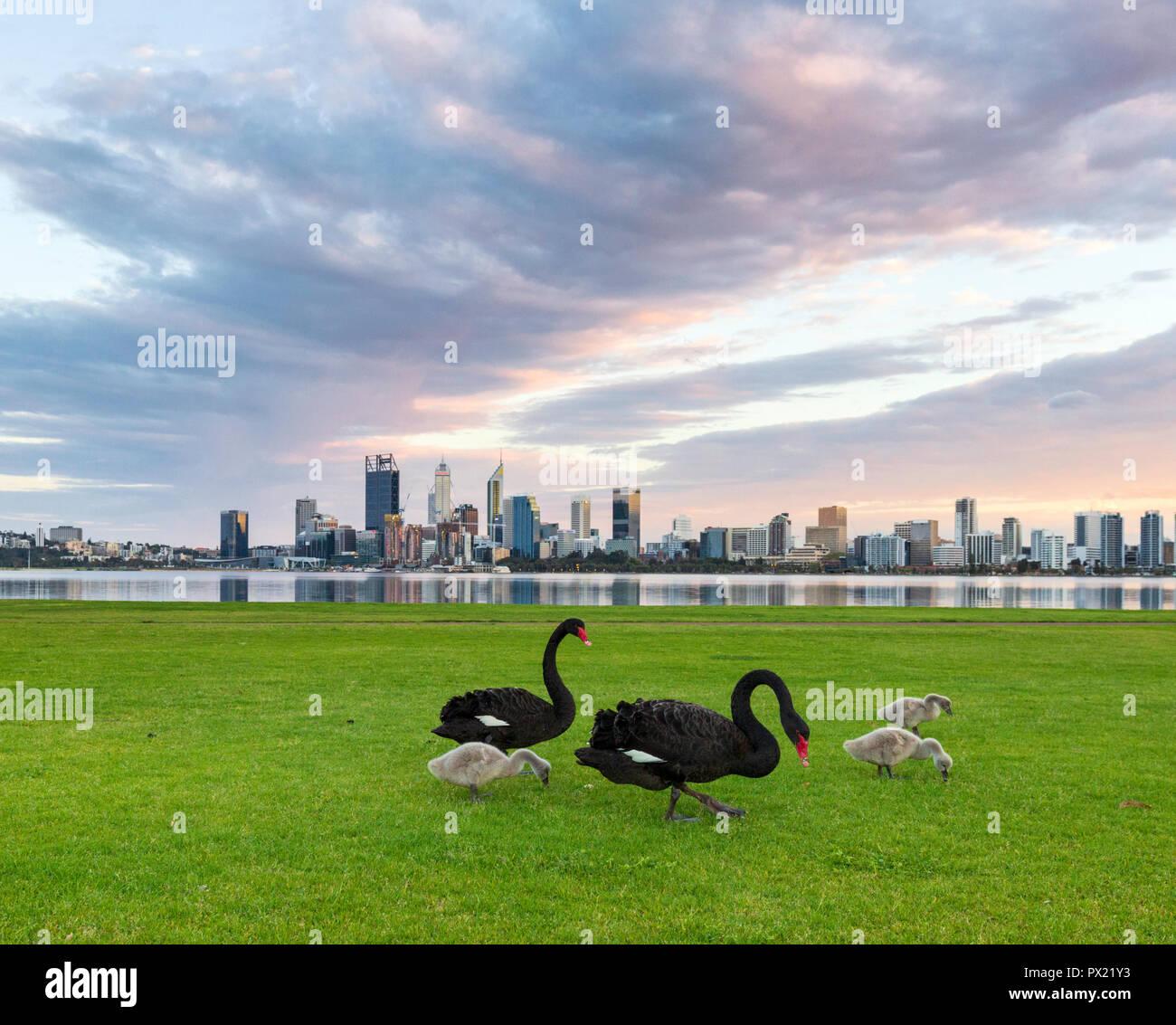 Cisnes negros (Cygnus atratus) y sus cygnets en Sir James Mitchell Park en el sur de Perth, Australia Occidental. Imagen De Stock