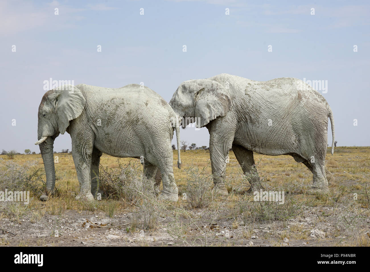 Zwei weiße männliche Elefanten, mit weissem bedeckt Schlamm, Parque Nacional de Etosha, Namibia, AfrikaNamibia, Afrika Foto de stock