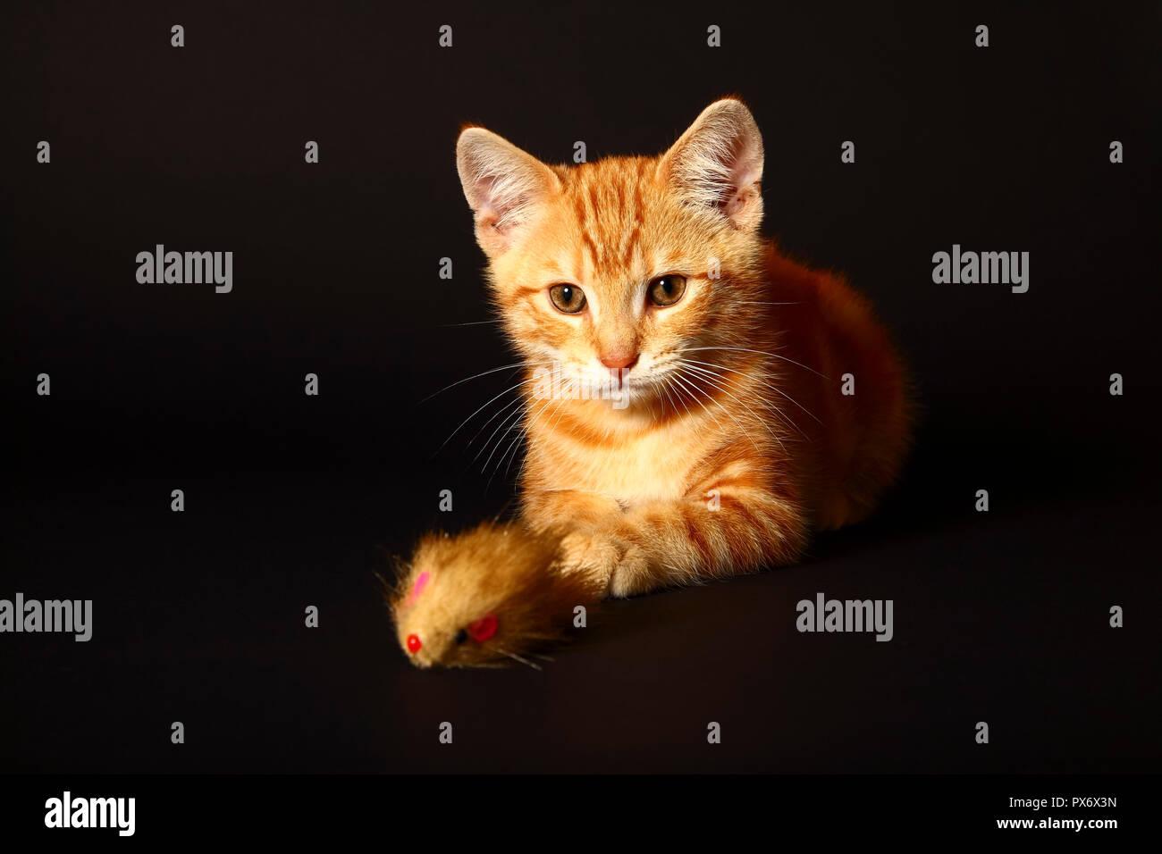 Jengibre mackerel tabby12 semana vieja gatito aislado en un fondo negro jugando con un ratón de juguete Foto de stock