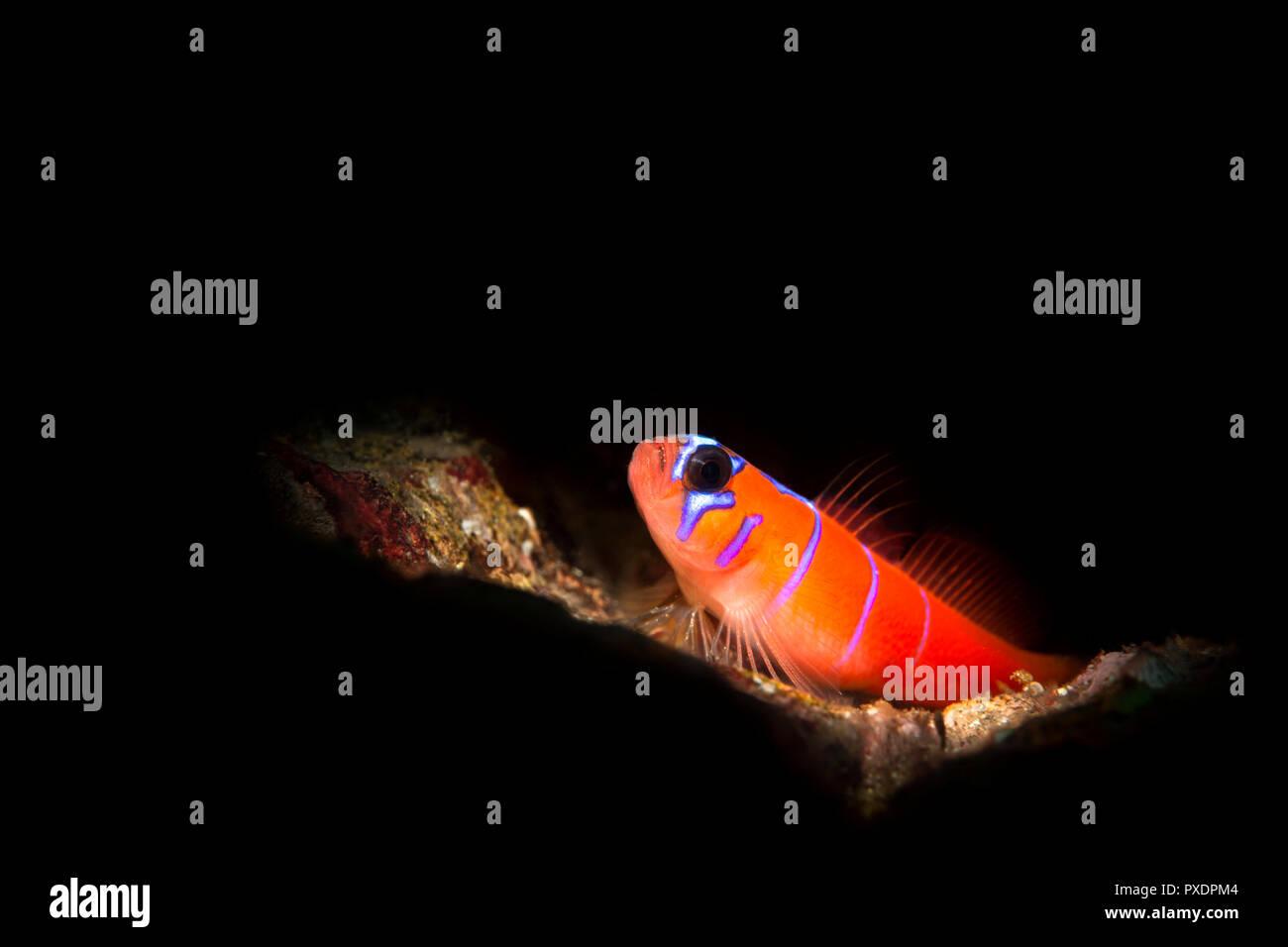 Una pequeña y vibrante, con bandas azules Catalina goby descansa sobre un arrecife. El pescado estaba iluminado con una luz snoot, que da un pequeño rayo de luz brillante para el negro Imagen De Stock