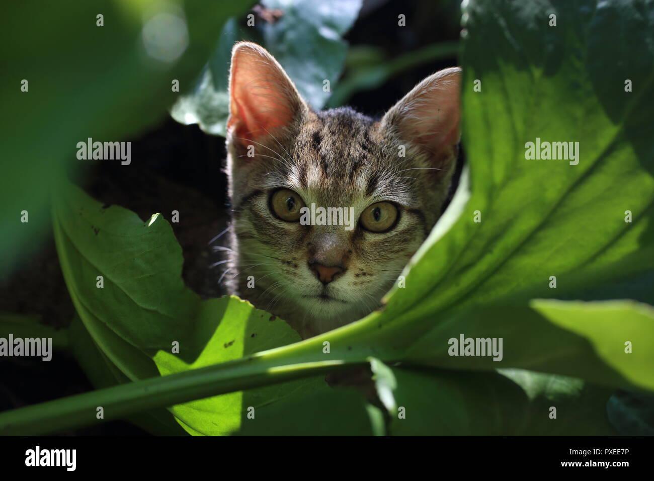 Lindo gato jugando a rayas en las hojas en el jardín Foto de stock