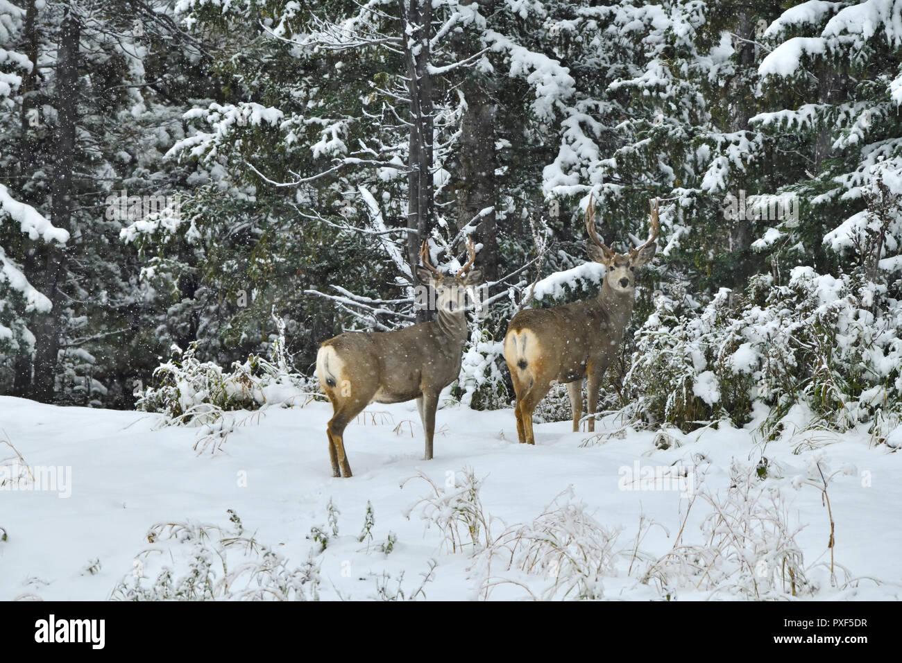 Dos ciervos mula Bucks 'Odocoileus hemionus', de pie en el borde de su hábitat forestal en los inviernos primera nieve en la zona rural de Alberta Canadá. Foto de stock