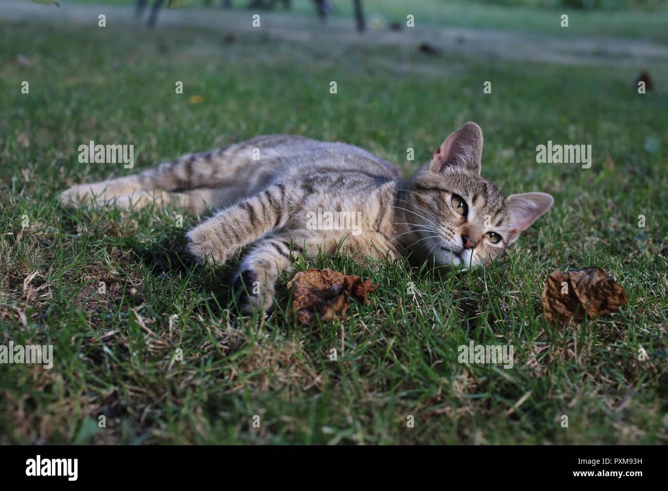 Rayas lindo gato jugando en la hierba en el jardín Foto de stock
