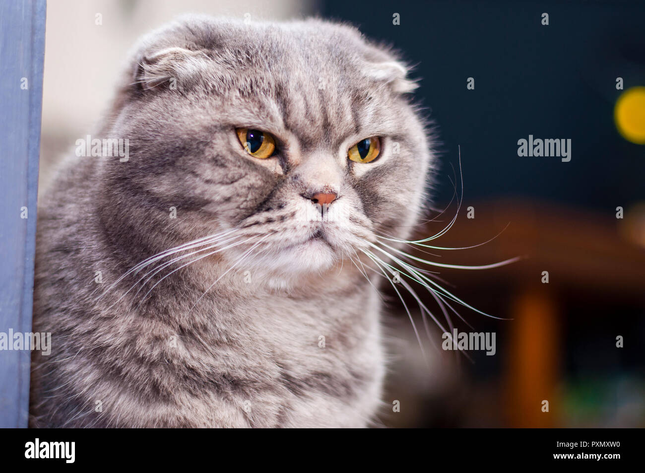El Scottish Fold es una raza de gato doméstico con una mutación en el gen dominante-natural que afecta a los cartílagos de todo el cuerpo, causando las orejas para fol Foto de stock