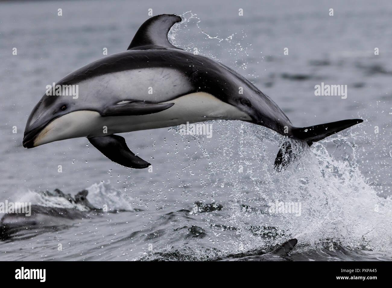 Caras en blanco del Pacífico (Lagenorhynchus obliquidens) de delfines saltando en Thompson Sonido, a lo largo de la Great Bear Rainforest, la costa de Columbia Británica, Primer Nat Imagen De Stock