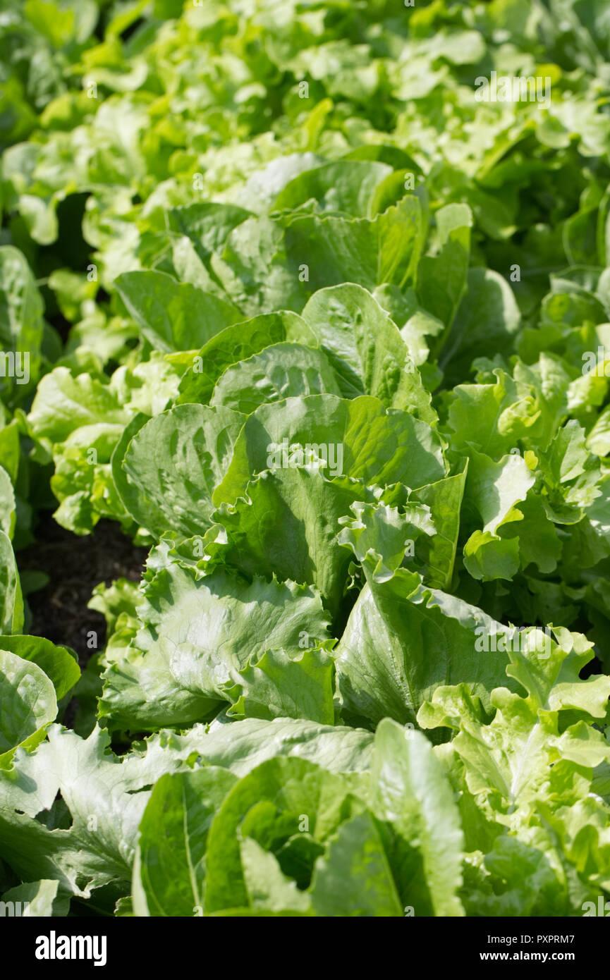 """Lactuca sativa """"tartan"""". Lechuga creciendo en el jardín de vegetales. Imagen De Stock"""