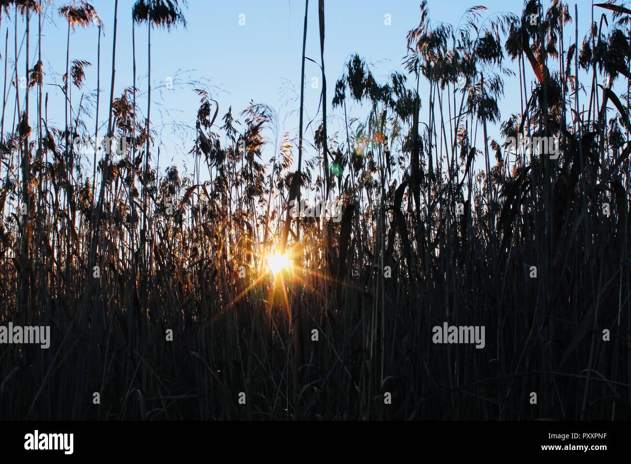 Detalle de Reed en común la retroiluminación del sol vespertino. Imagen De Stock