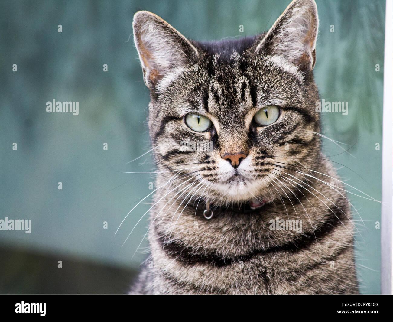 Un hermoso gato con iris muy delgada' en sus ojos posando para la cámara. Imagen De Stock