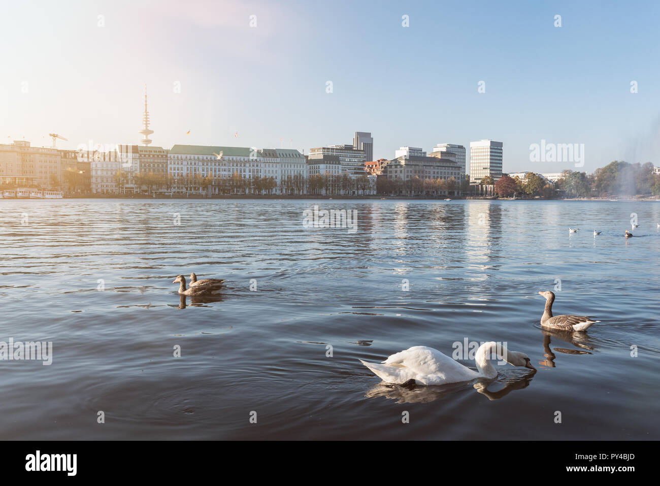 Cisnes y patos flotando en el lago Alster, en Hamburgo, Alemania. Foto de stock