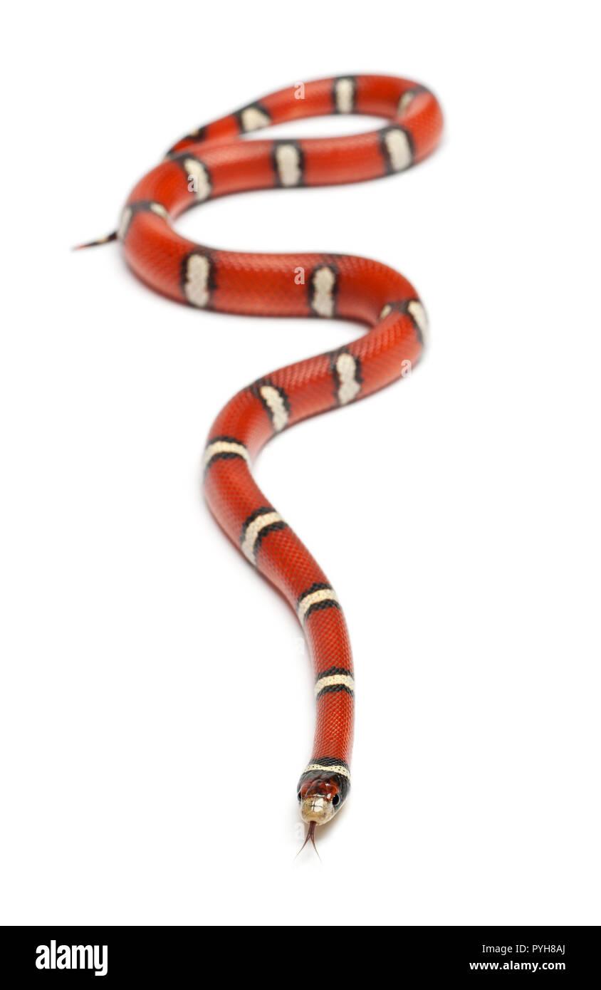 Milk Snake o milksnake, Lampropeltis triangulum nelsoni, delante de un fondo blanco Imagen De Stock