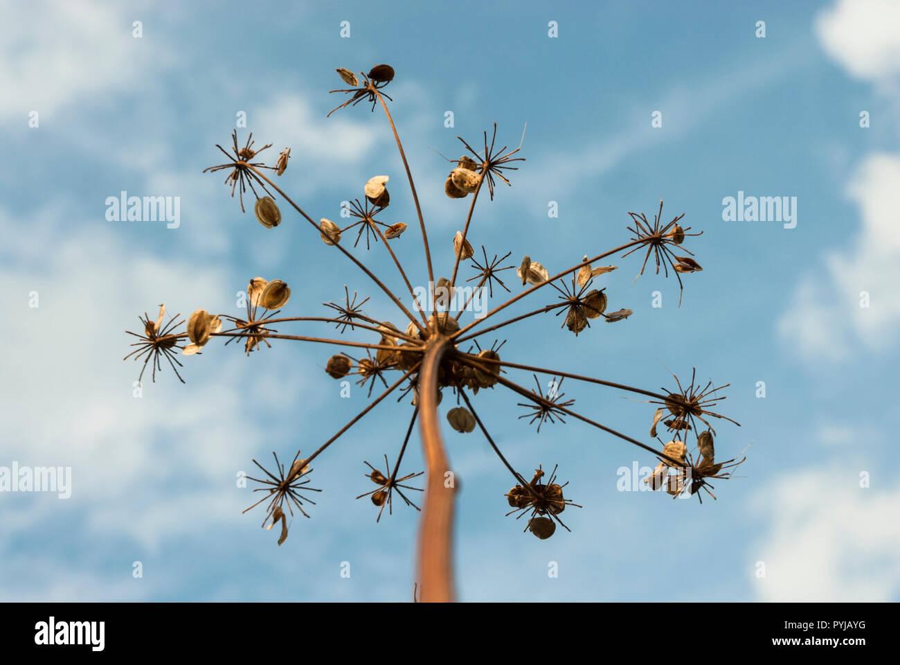 La alcachofa semillas adjunta a los tallos de las flores de la alcachofa seca (como paraguas radios) contra un cielo azul con nubes esponjosas. Imagen De Stock