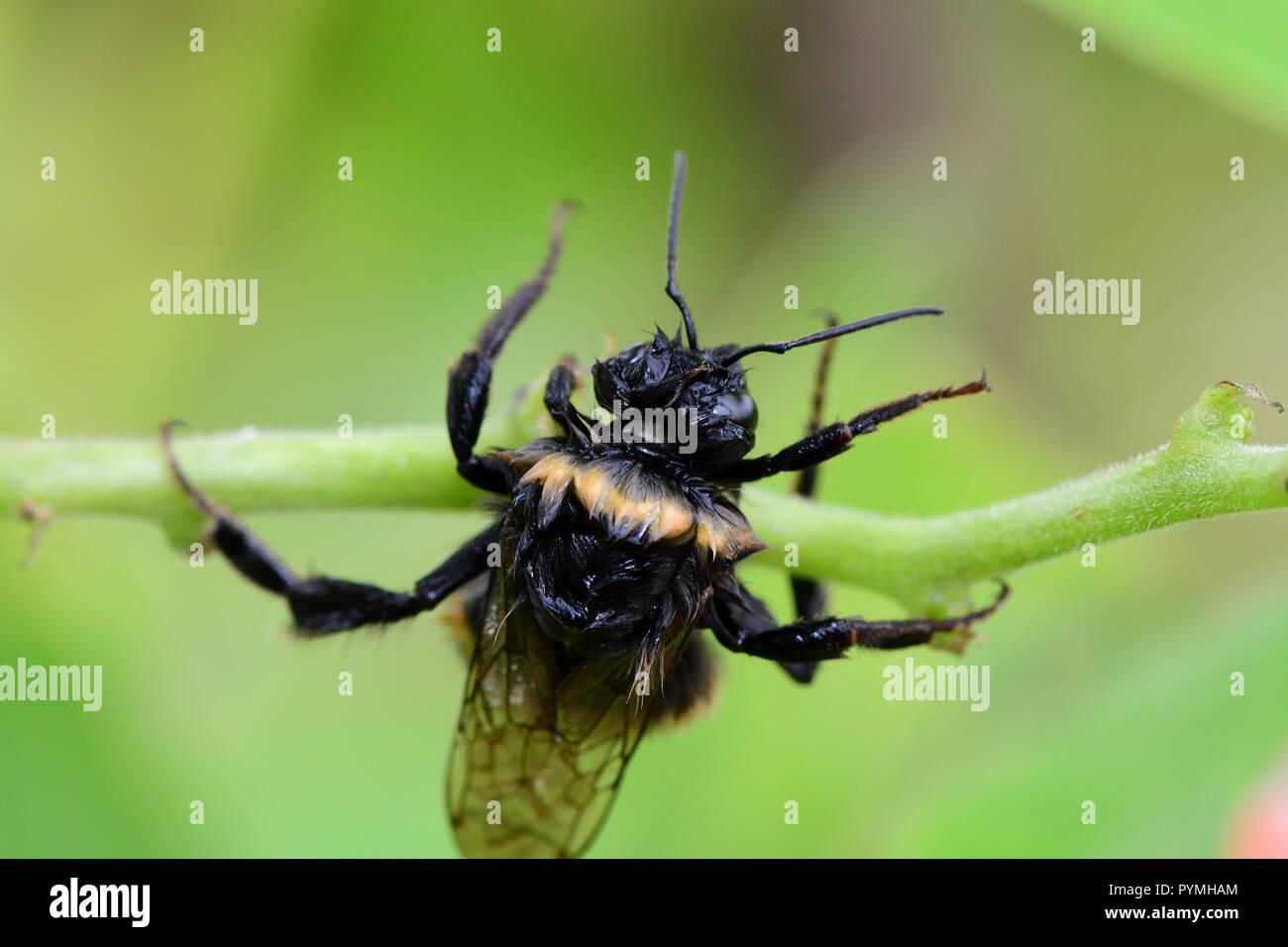 Foto de un abejorro húmedo escalada en un Runner bean pod Imagen De Stock