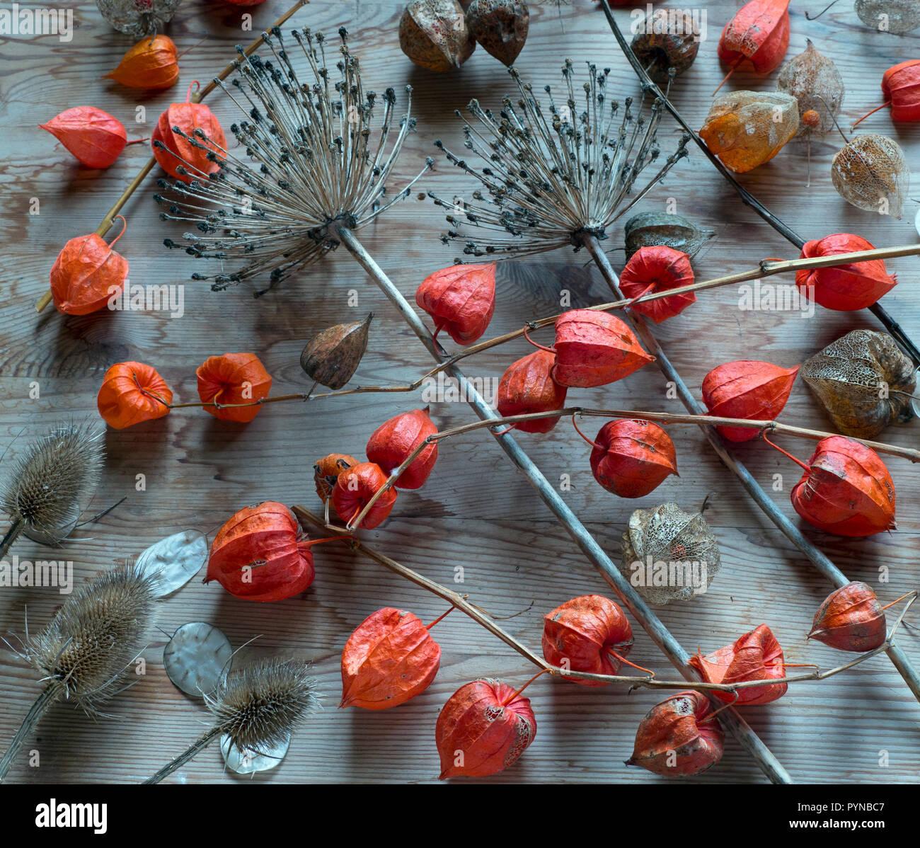 Linternas chinas Physalis alkekengi y allium cabezas de semillas bodegón Foto de stock