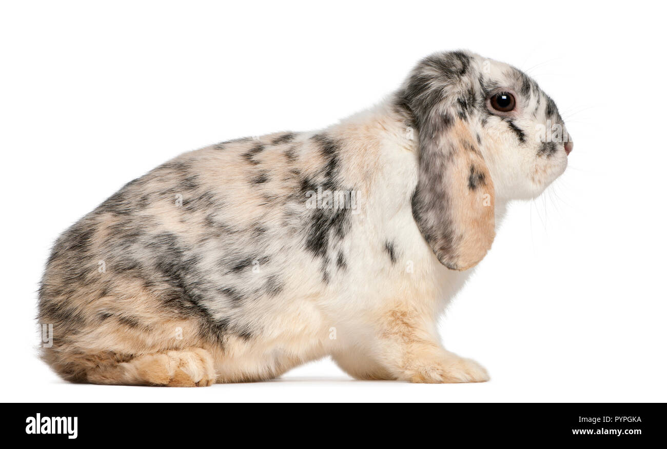Tri color moteado francés Lop conejo, de 2 meses de edad, Oryctolagus cuniculus, sentado delante de un fondo blanco Imagen De Stock