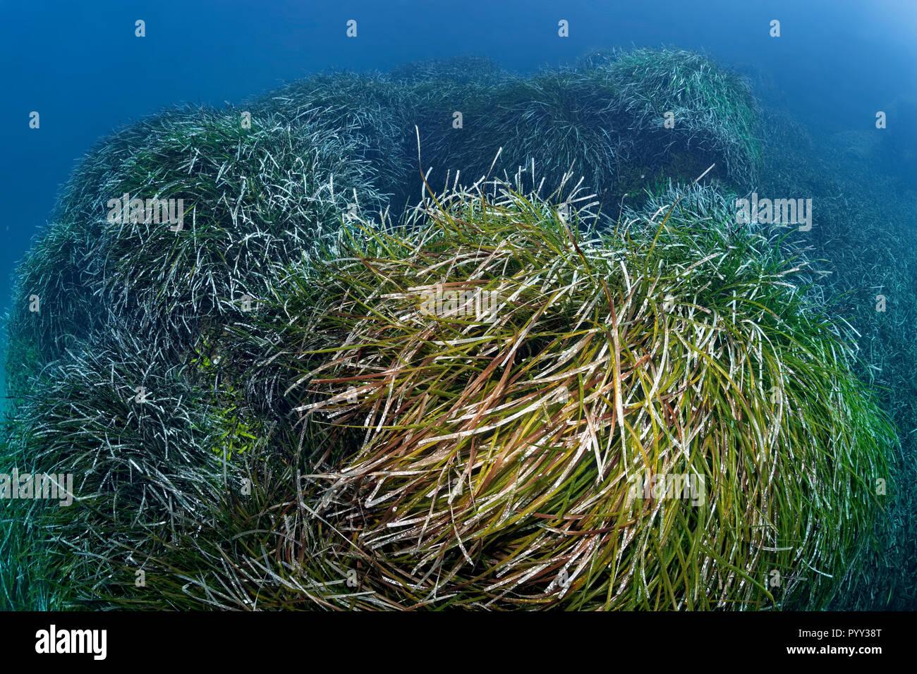 Hierba de Neptuno (Posidonia oceanica), el Mar Mediterráneo, al sur de Chipre, Chipre Imagen De Stock