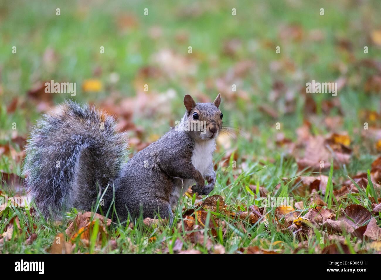 Una ardilla gris otoño hojas marrones Foto de stock