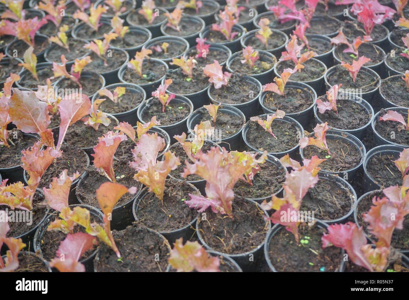 Cultiva vegetales orgánicos frescos para aquaponic o agricultura hidropónica. Foto de stock