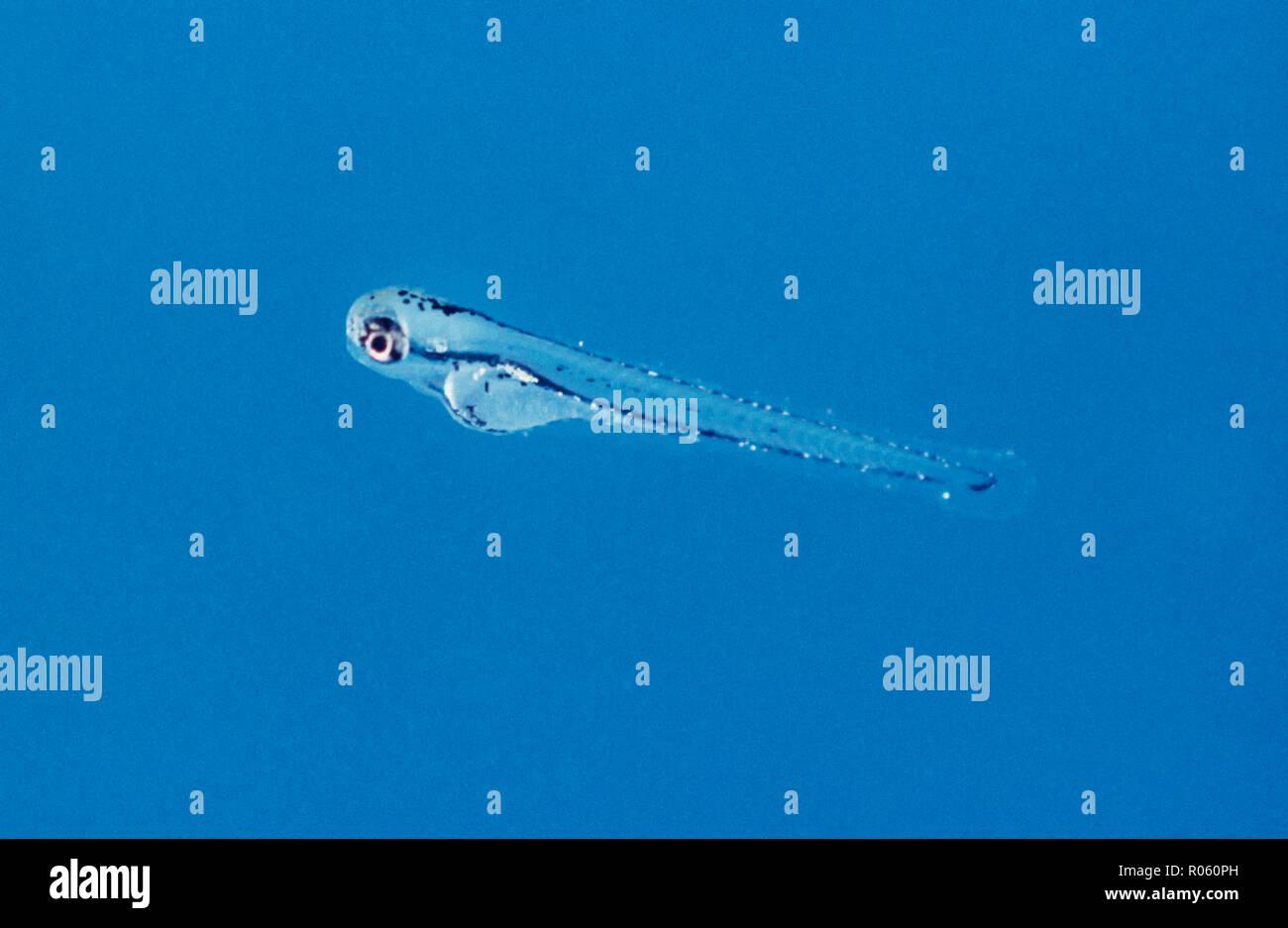 El pez cebra, Danio rerio, freír en acuario. Desde la década de 1930, el pez cebra ha sido un organismo modelo para el estudio de enfermedades humanas. Imagen De Stock