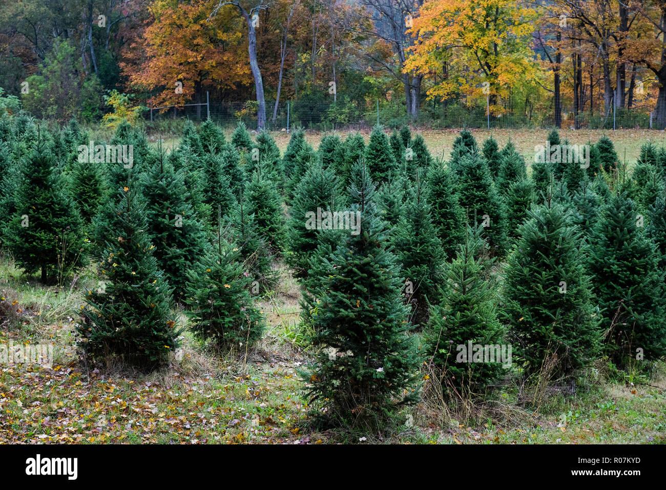 Granja de árboles de Navidad, Bennington, Vermont, EE.UU. Foto de stock