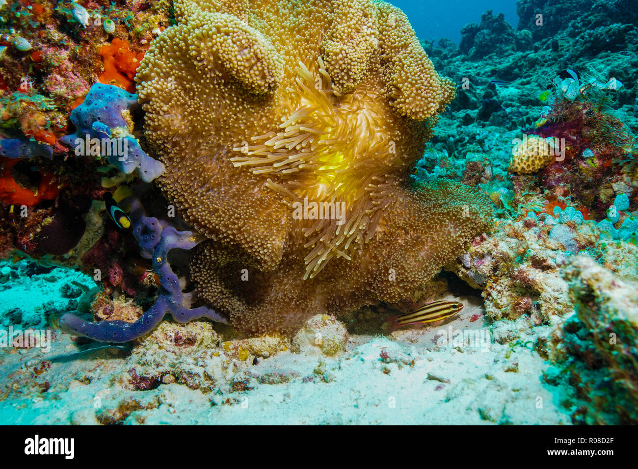 Stichodactyla Mertensii anémona alfombra coral Maldivas