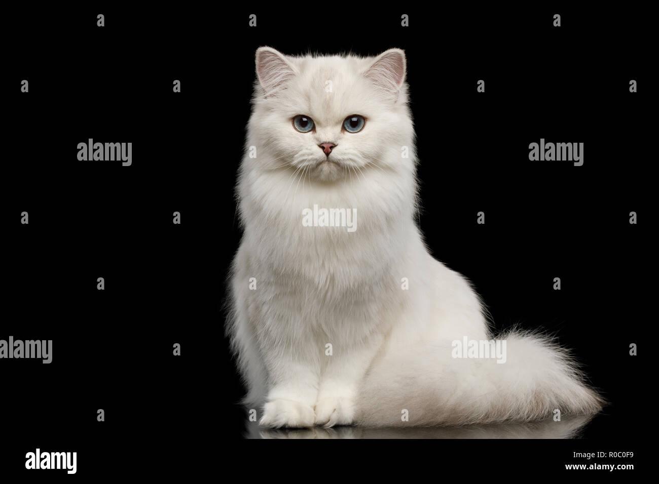 Adorable Gato raza británico de color blanco con ojos azules, sentada y mirando a la cámara aislada sobre fondo negro, vista frontal Imagen De Stock