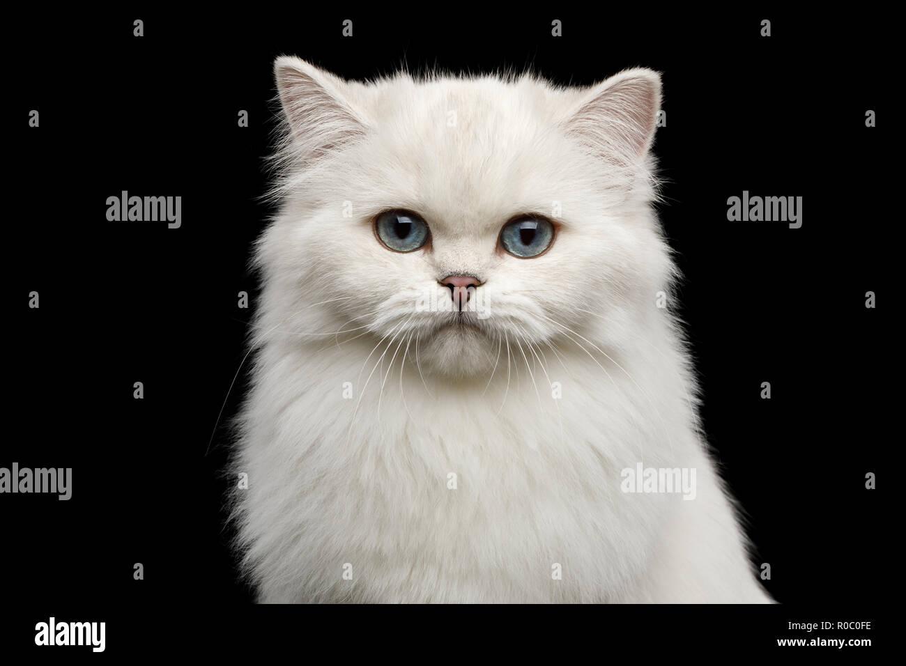 Retrato de raza británica Cat, color blanco puro, con ojos azules, mirando a la cámara aislada sobre fondo negro, vista frontal Imagen De Stock